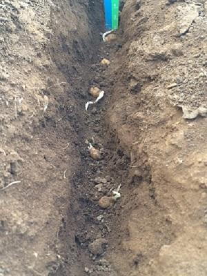 Chickpea Planting Depth