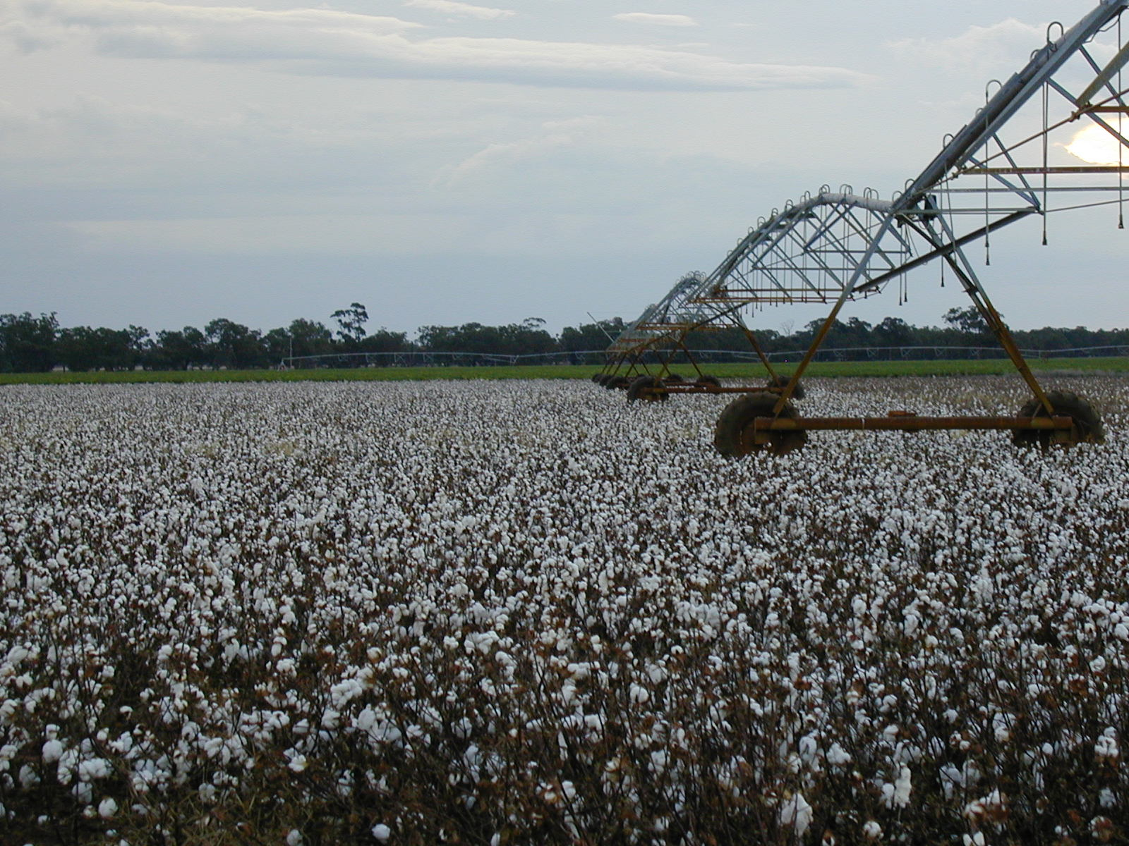 Cotton Pivot