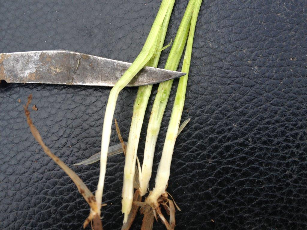 Wedgetail Wheat